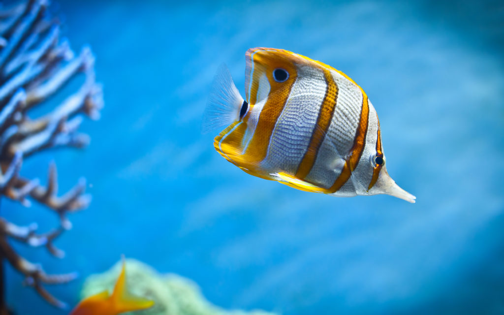 copperband_butterfly_fish-wide