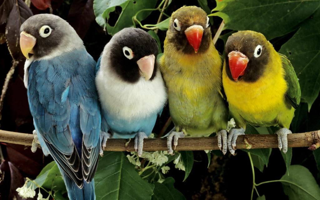 lovebirds-wide