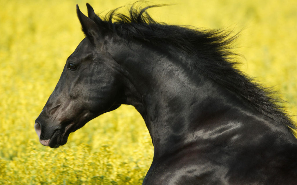 portrait_of_a_friesian-wide