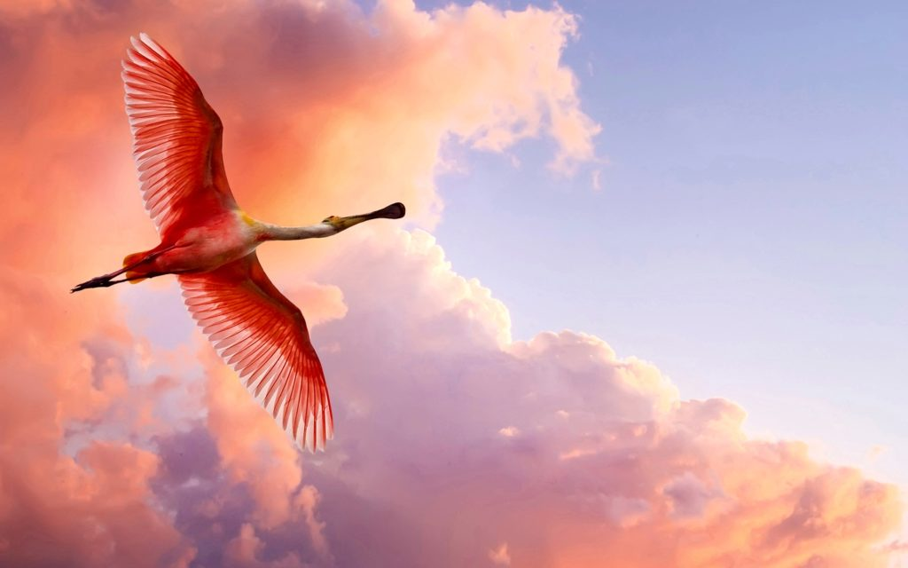 the_roseate_spoonbill-wide
