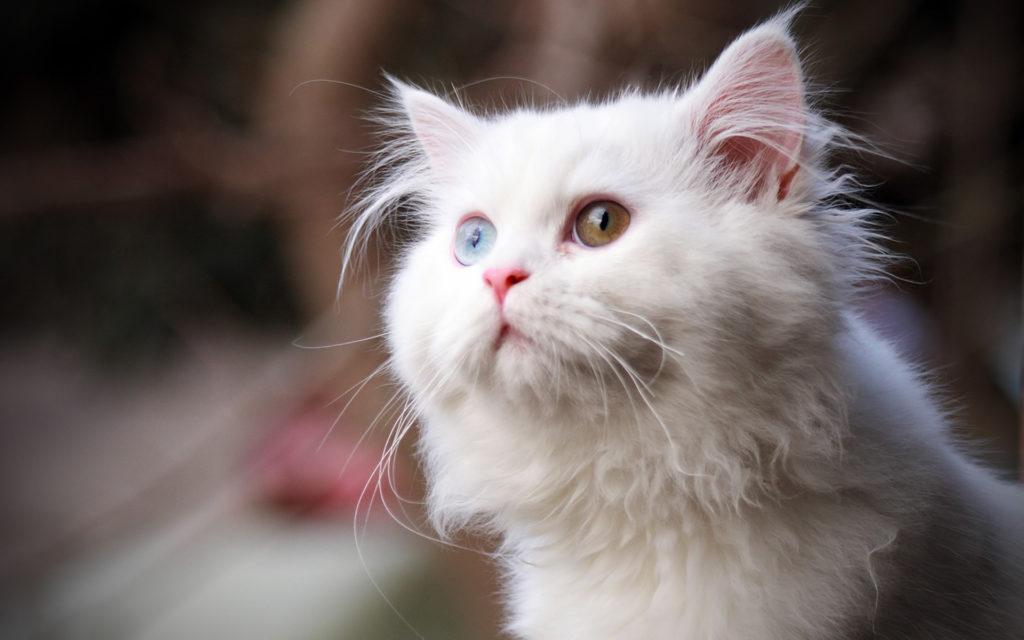 white_cat-wide