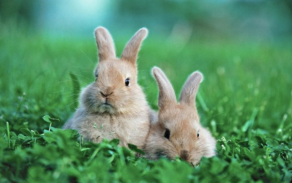 Bunnies Windows 7 Themes