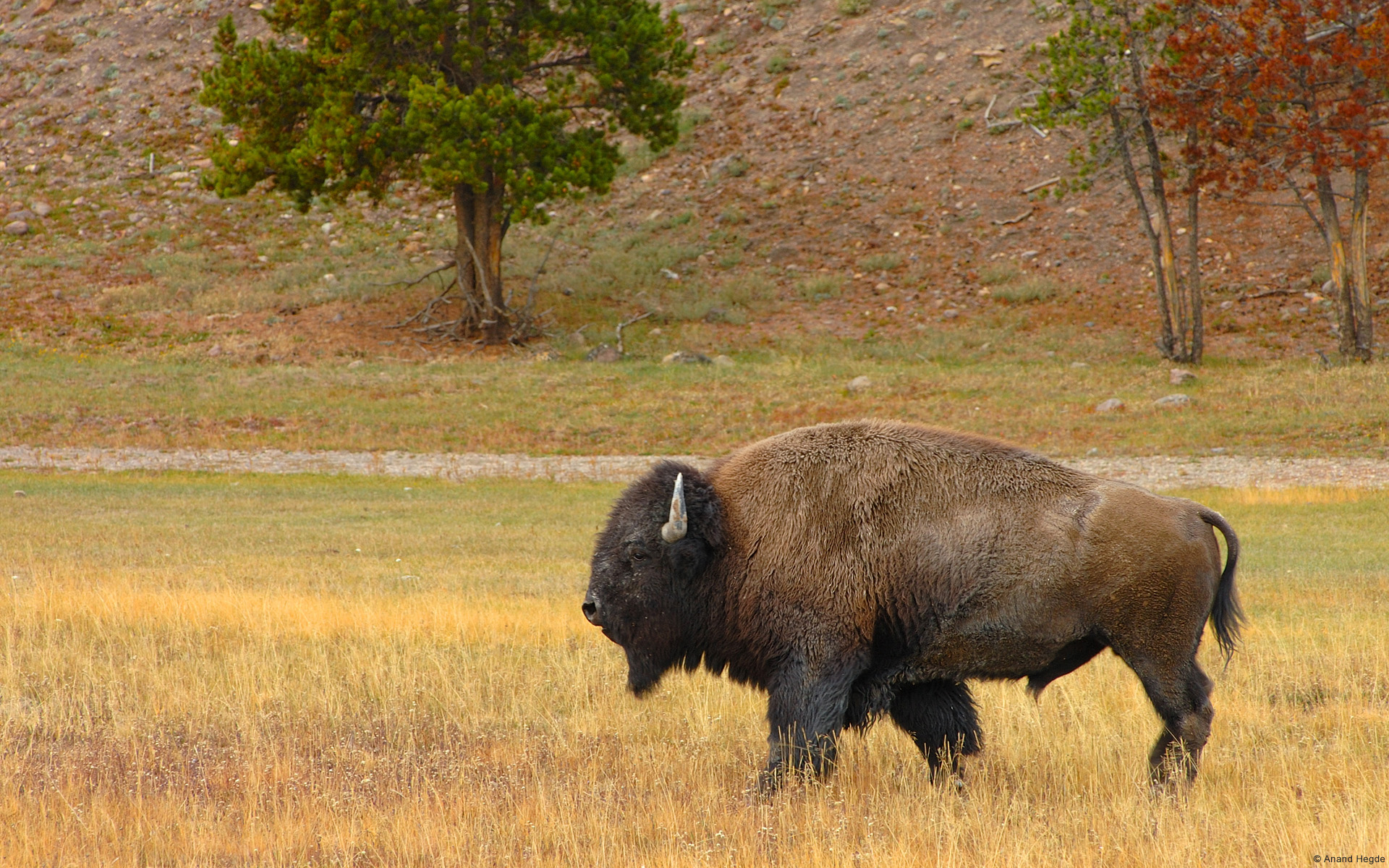 Bison in Yellowstone National Park, United States