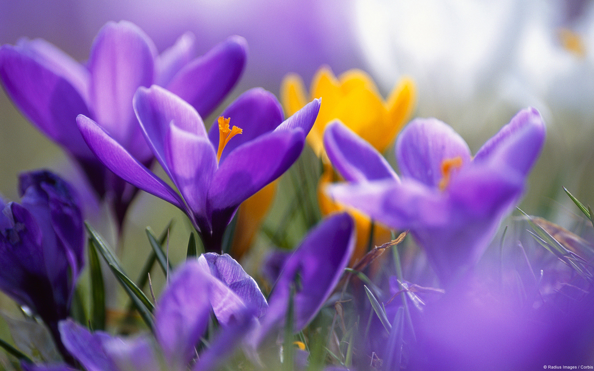 Crocuses, close-up