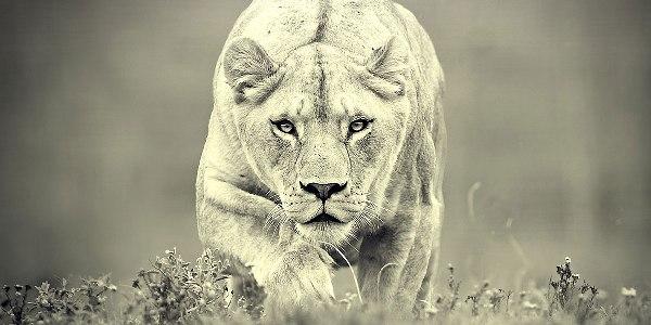 Monochrome-Lions-l